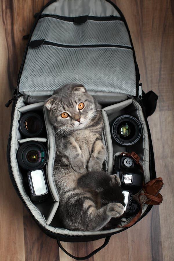 British Shorthair un chat dans un sac photo photos libres de droits