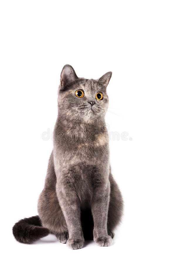 Free British Shorthaired Cat Royalty Free Stock Photography - 9001827
