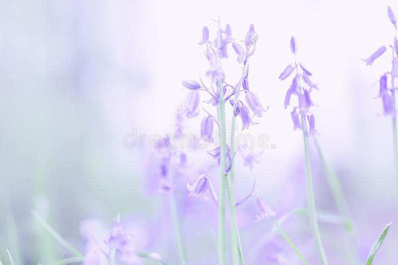 British spring flowers.Bluebells blossom in English woodland royalty free stock image