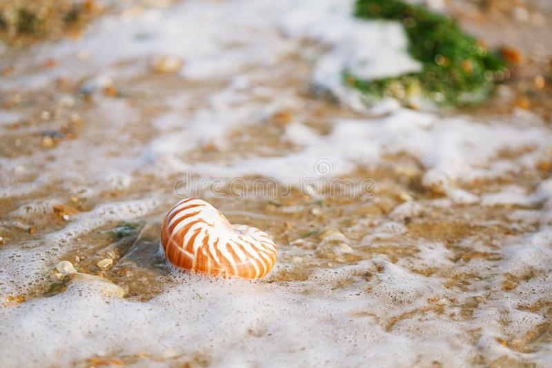 British summer beach with nautilus sea shell. British summer beach with nautilus pompilius sea shell royalty free stock images