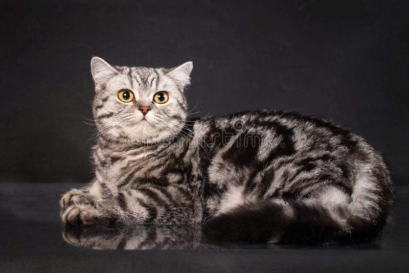 British tabby shorthair young cat with yellow eyes, britain kitten on black background royalty free stock photography