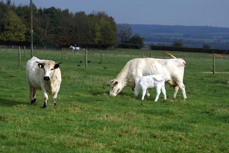 British white cattle of a bull, cow, & calf in a farmland. The British white cattle or British White is a naturally polled British cattle breed, white with black royalty free stock images
