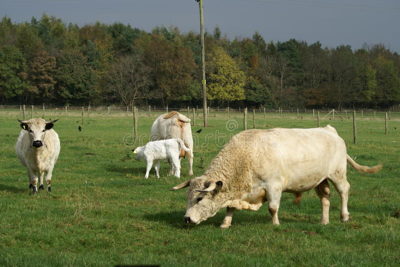 British White Cattle. Are used for beef stock photo