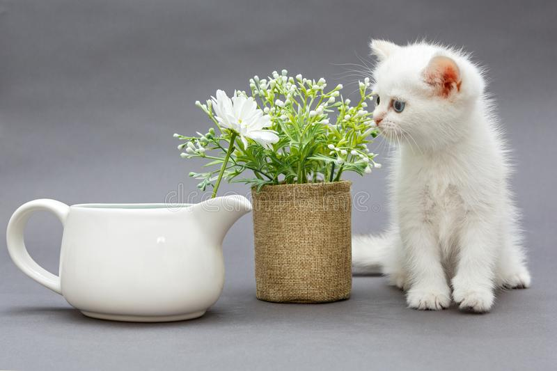 White British kitten and flowers royalty free stock images