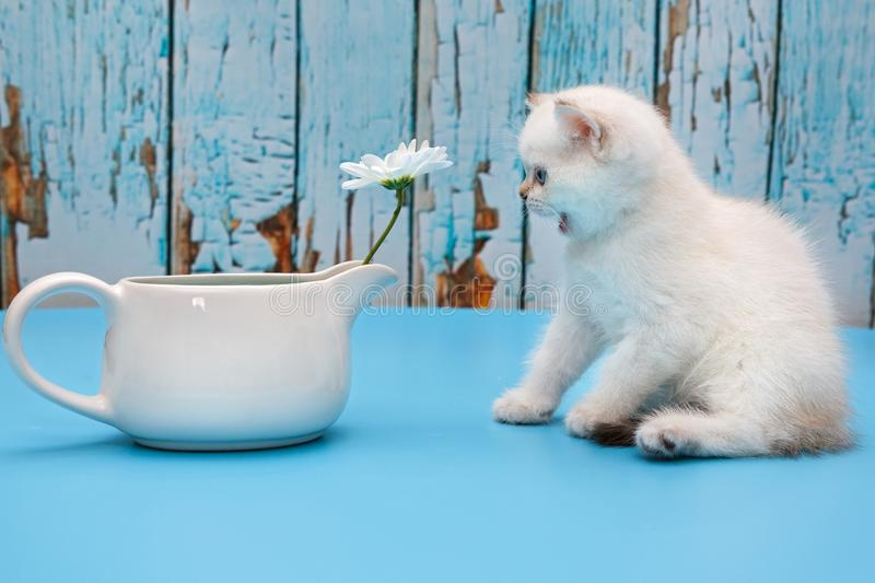 British white kitten with flowers royalty free stock image