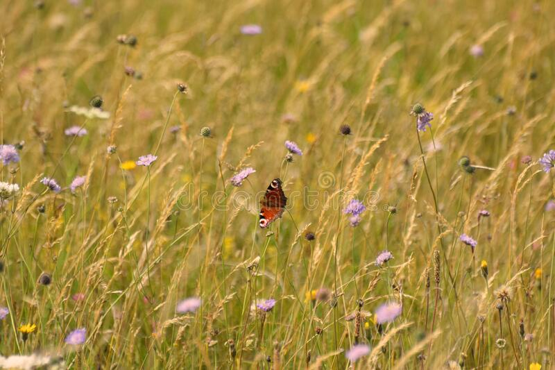 A British wildflower meadow with a Peacock butterfly feeding on corn flowers stock photo