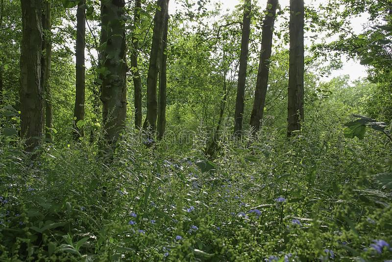 British woodland in summer royalty free stock image