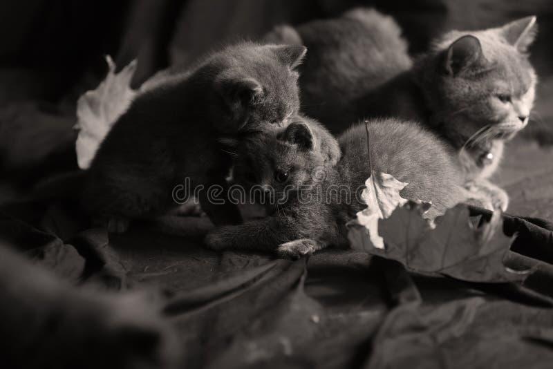 Brits de kat en de katjesspel van Shorthair samen royalty-vrije stock afbeeldingen