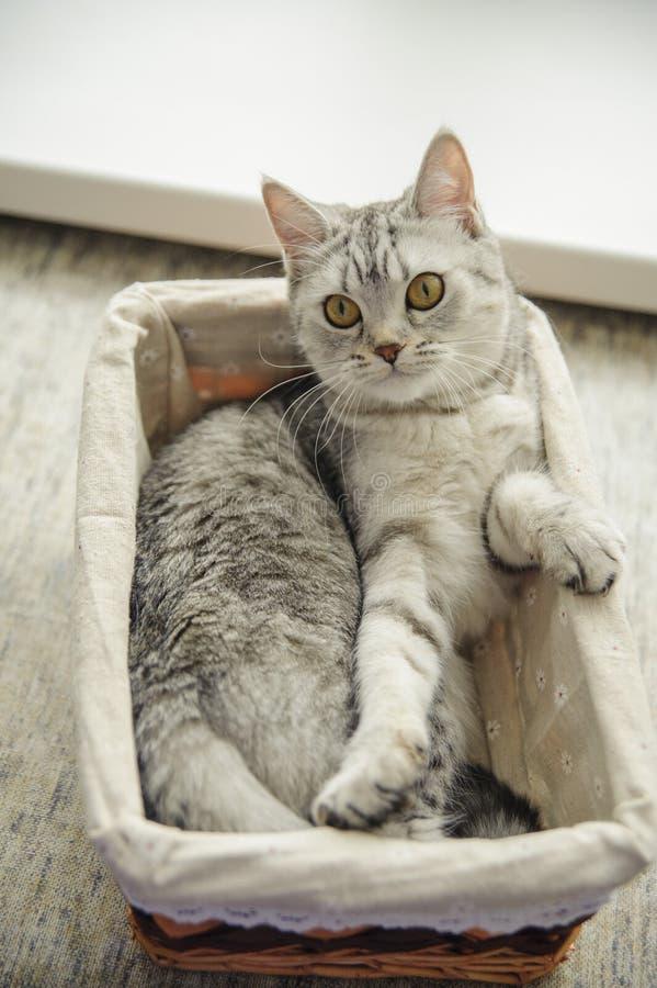 Brits katje in een mand stock foto's