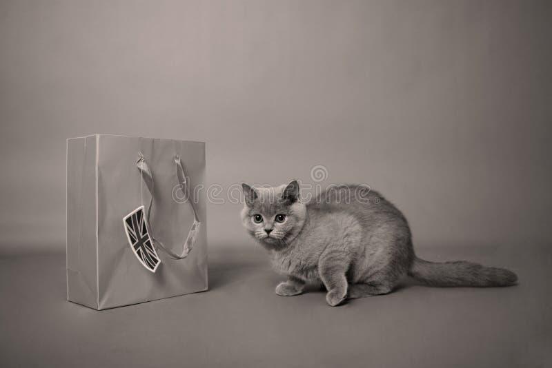 Brits katje Shorthair stock foto