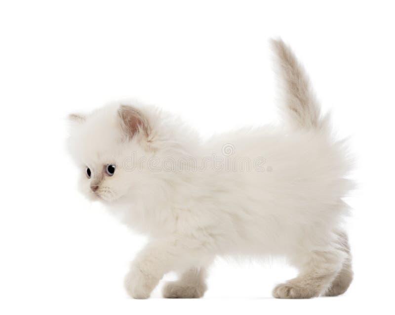 Brits Longhair Katje dat, 5 weken oud loopt stock afbeelding