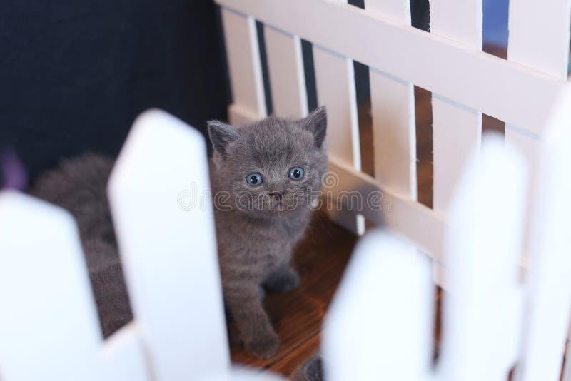 Brits Shorthair-katje dat onder witte houten omheining wordt gezien royalty-vrije stock afbeelding