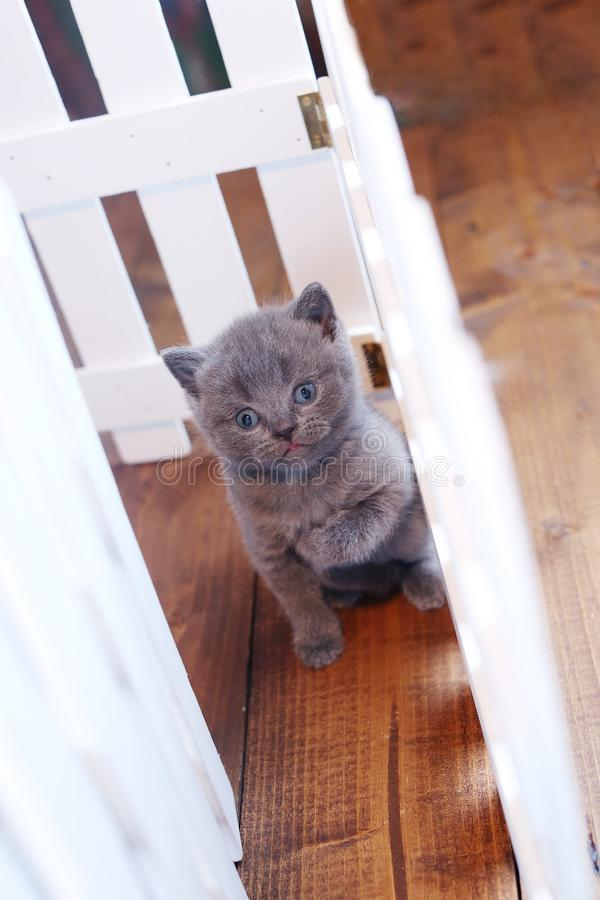 Brits Shorthair-katje dat onder witte houten omheining wordt gezien royalty-vrije stock foto's