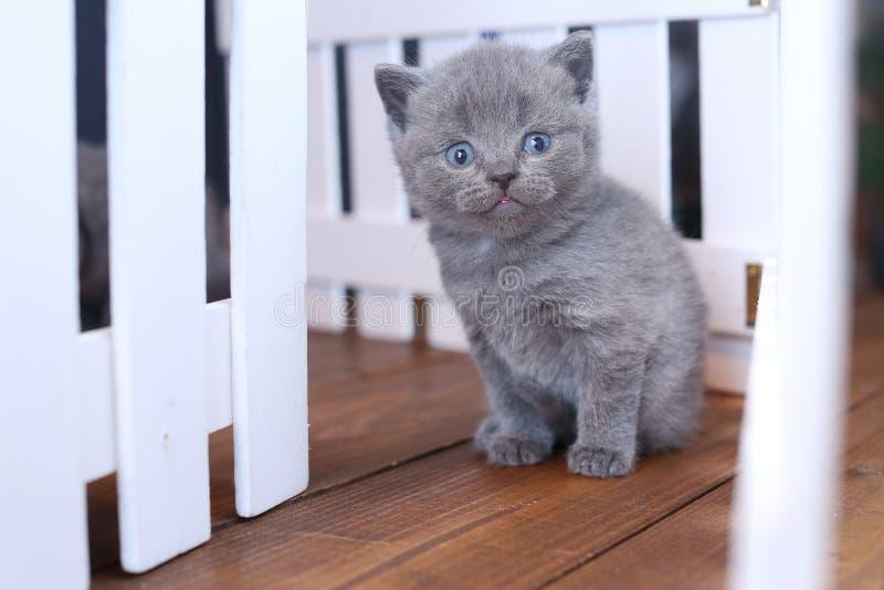 Brits Shorthair-katje dat onder witte houten omheining wordt gezien royalty-vrije stock fotografie