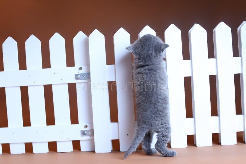 Brits Shorthair-katje dat op een witte omheining beklimt stock fotografie