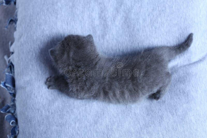 Brits Shorthair-katje in een kleine yard, witte omheining royalty-vrije stock afbeeldingen