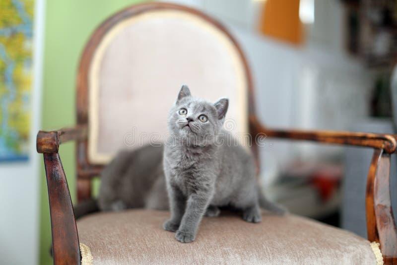 Brits Shorthair-katje op de leunstoel stock afbeeldingen