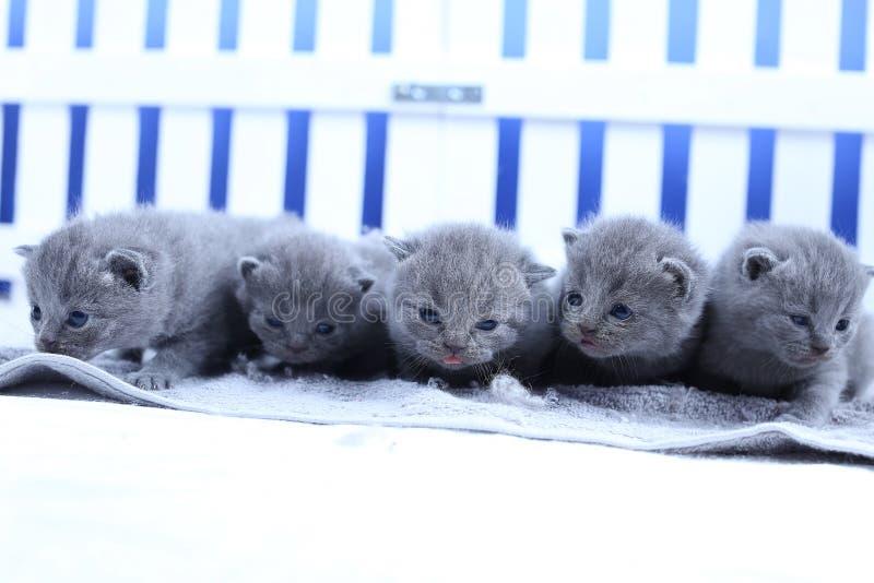 Brits Shorthair-katjesportret, witte omheining op achtergrond stock foto