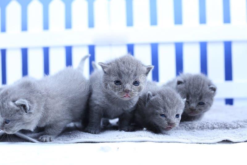 Brits Shorthair-katjesportret, witte omheining op achtergrond stock afbeelding