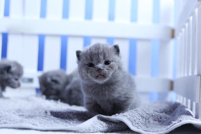 Brits Shorthair-katjesportret, witte omheining op achtergrond stock foto's