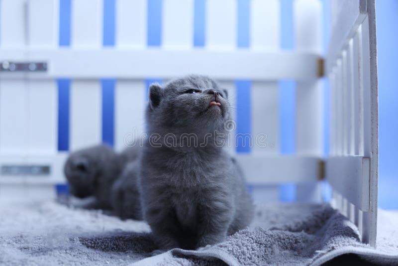Brits Shorthair-katjesportret, witte omheining op achtergrond royalty-vrije stock afbeelding