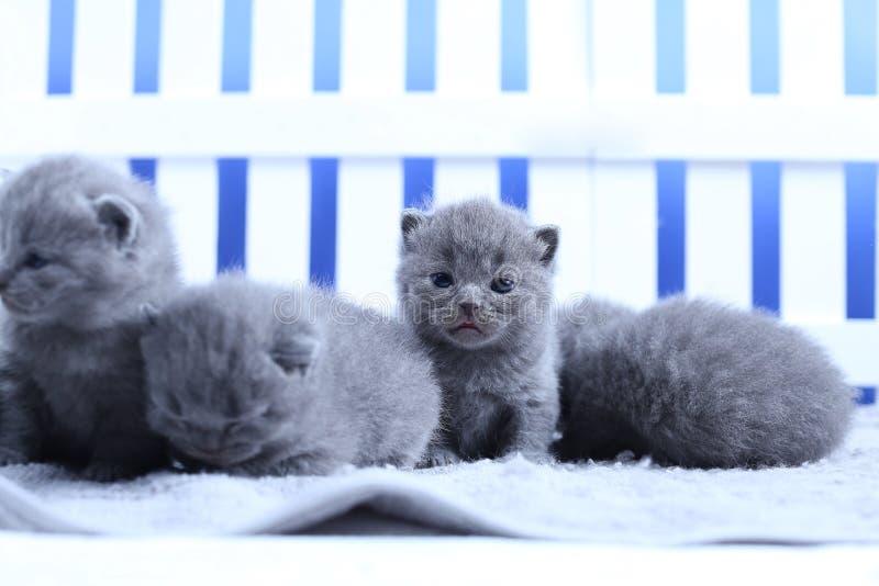 Brits Shorthair-katjesportret, witte omheining op achtergrond stock fotografie