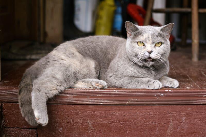 Britse blauwe kat op de buitenhuis houten portiek stock afbeeldingen