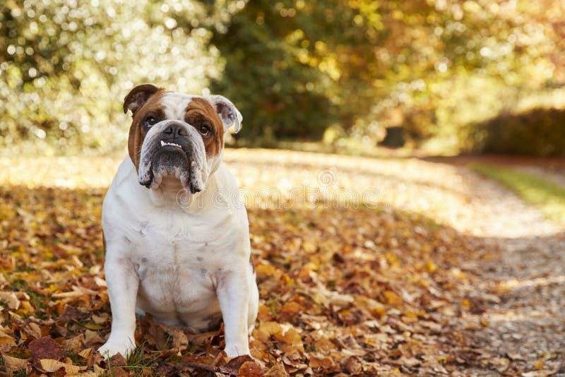 Britse Buldogzitting door Weg in Autumn Landscape royalty-vrije stock foto