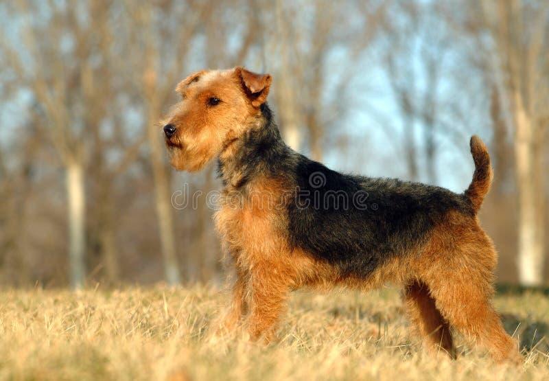 Britse Fox-terrier stock afbeeldingen