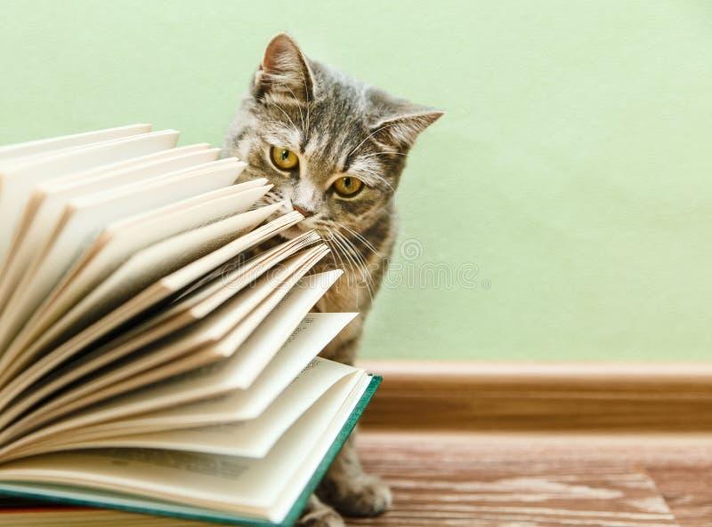 Britse Grey Cat ruikt Open Boek, Grappig Huisdier op de Houten Vloer royalty-vrije stock afbeelding
