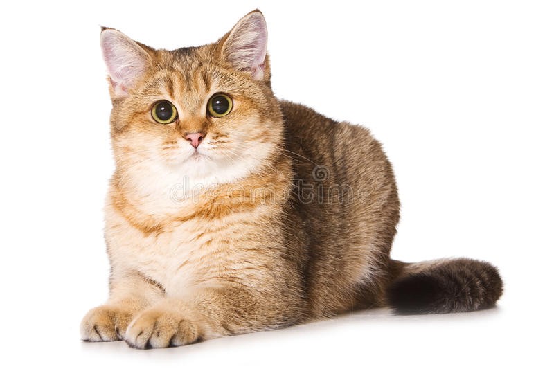 Britse kat royalty-vrije stock foto's