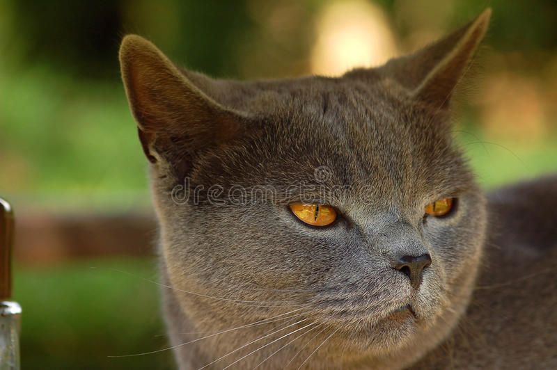 Britse kat royalty-vrije stock afbeelding
