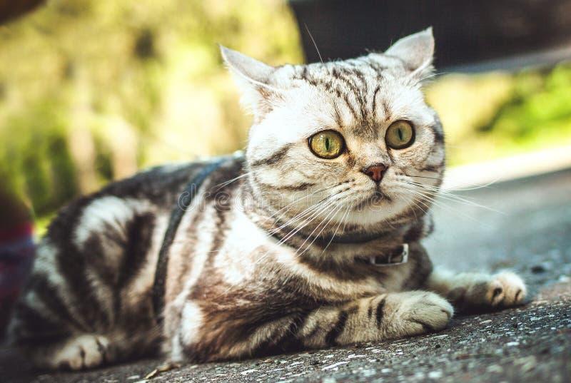 Britse kat op een gang in openlucht royalty-vrije stock fotografie