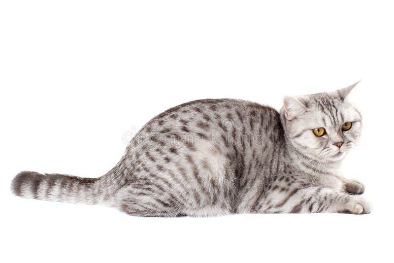 Britse kat op witte achtergrond stock foto