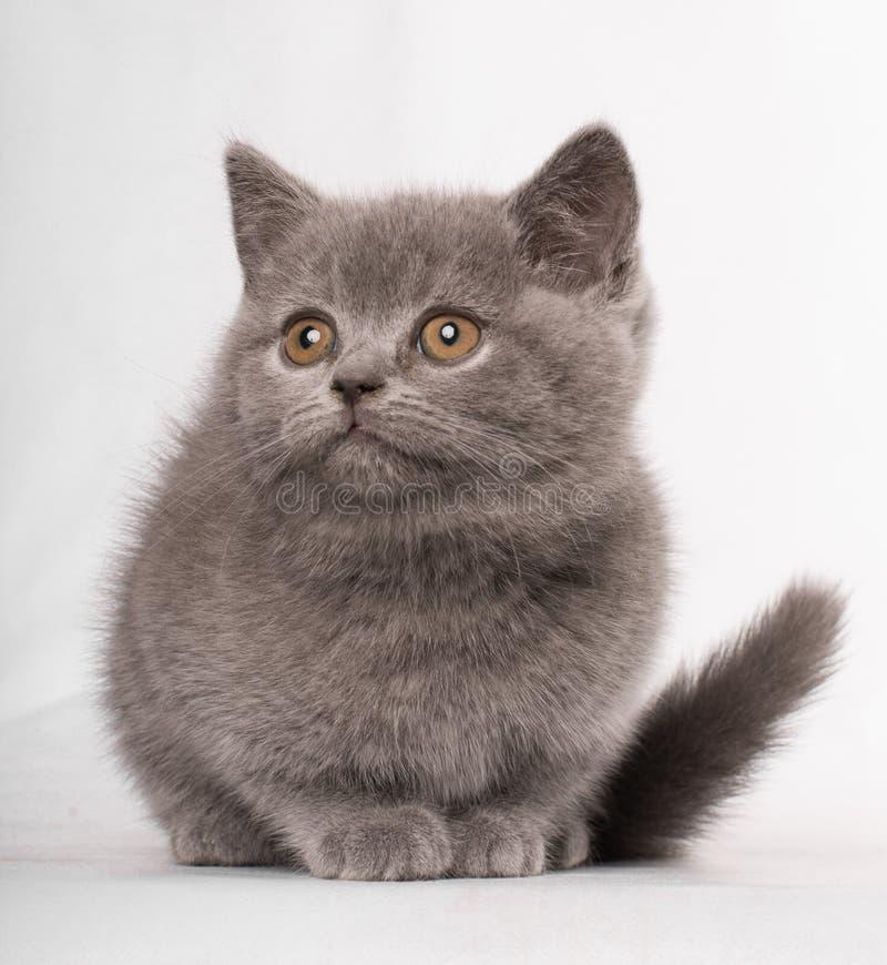 Britse korte haar mooie kat die op witte achtergrond wachten royalty-vrije stock afbeeldingen