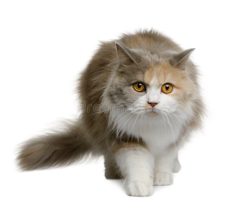 Britse longhair kat, 11 maanden oud royalty-vrije stock afbeelding