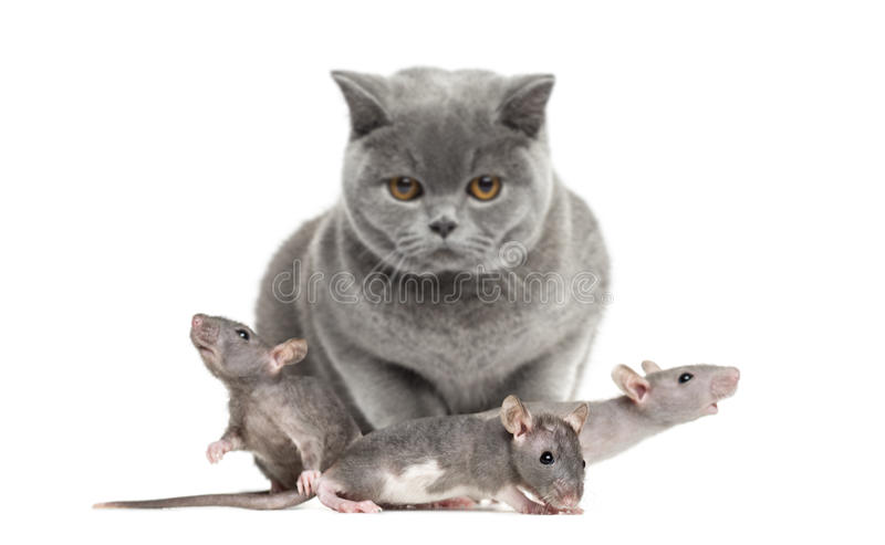 Britse Shorthair en drie jonge kale ratten stock afbeelding