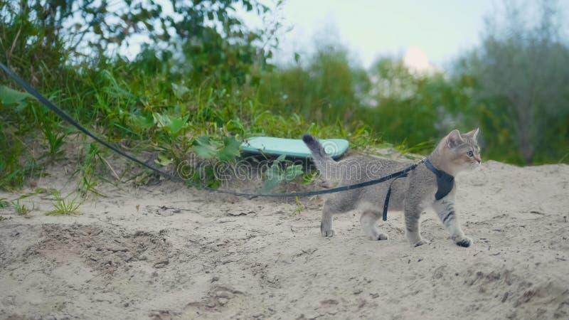 Britse Shorthair-Gestreepte katkat in kraag die op zand lopen openlucht royalty-vrije stock afbeelding