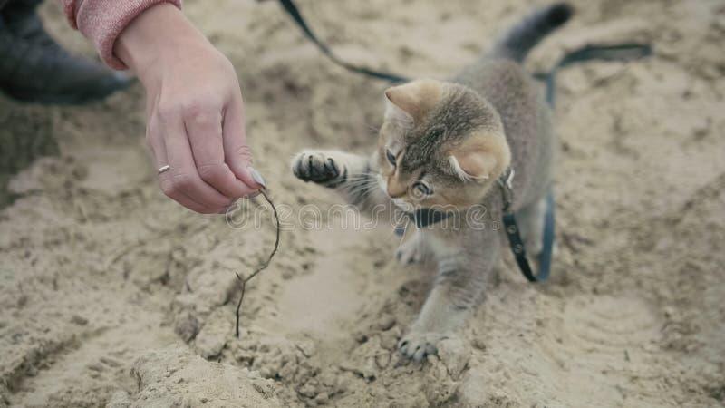 Britse Shorthair-Gestreepte katkat in kraag die op zand lopen openlucht - de spelen met de hand van een vrouw, sluiten omhoog stock afbeeldingen