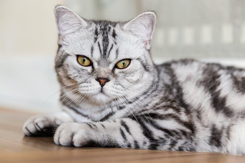 Britse Shorthair-kat die en de camera liggen bekijken Portret van grijze gestreepte katkat De ruimte van het exemplaar stock foto