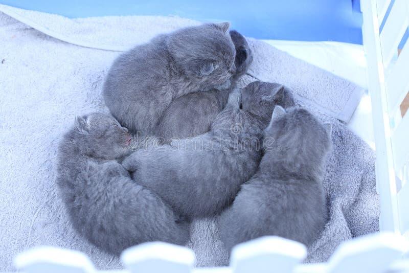 Britse Shorthair-katjes in een kleine yard, witte omheining stock foto