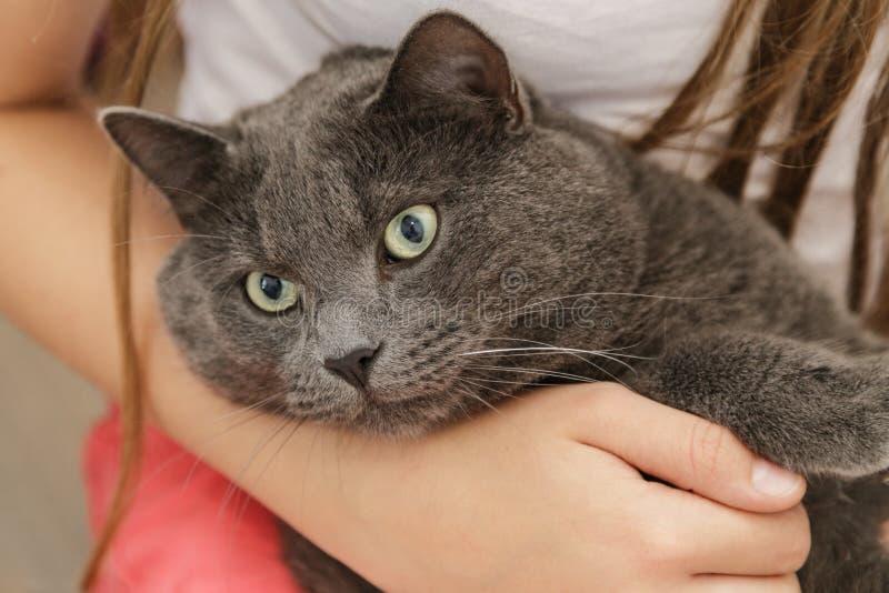 Britse shorthairkat in meisjeshanden stock fotografie
