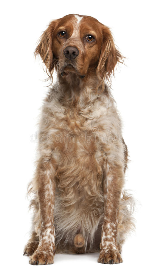 Brittany Dog, 3 Years Old, Sitting Stock Photo