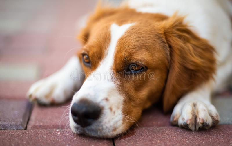 Brittany dog female puppy closeup. Lying down and resting in shade from summer heat. Dog in summer concept, background, pretty, outdoor, hunter, mammal, beauty stock image