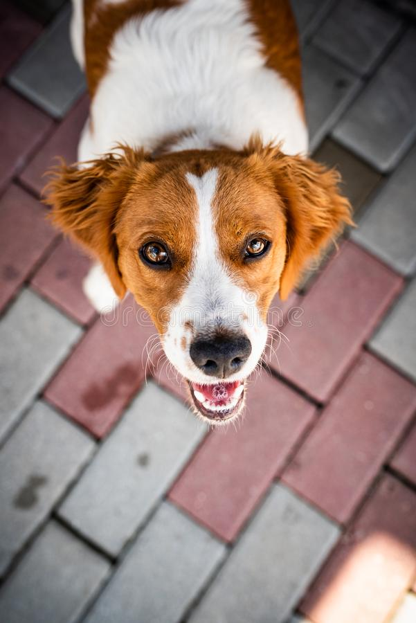 Brittany dog female puppy looking up with curious eyes royalty free stock images