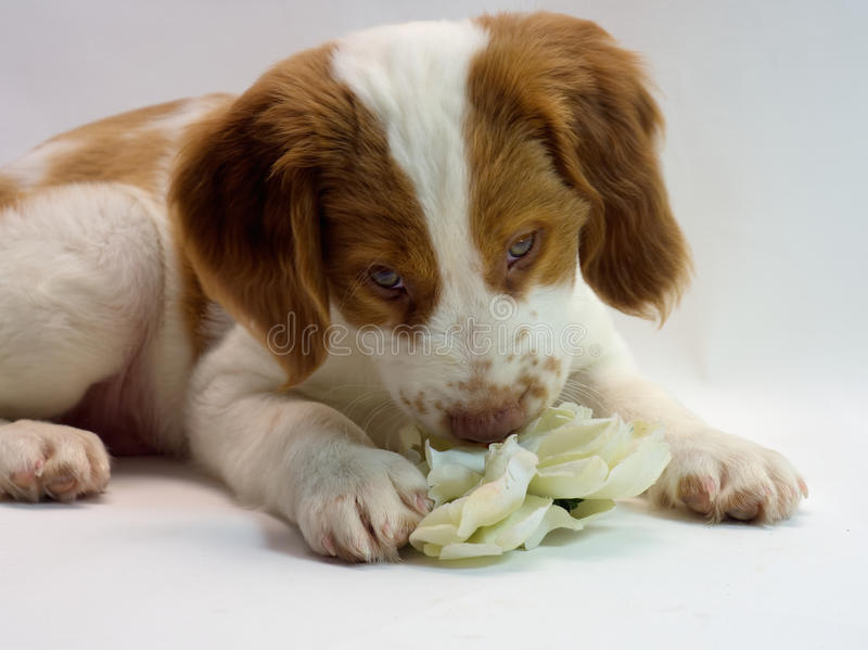 Brittany puppy flower power. Sweet little 10 week old brittany puppy smelling a flower royalty free stock image