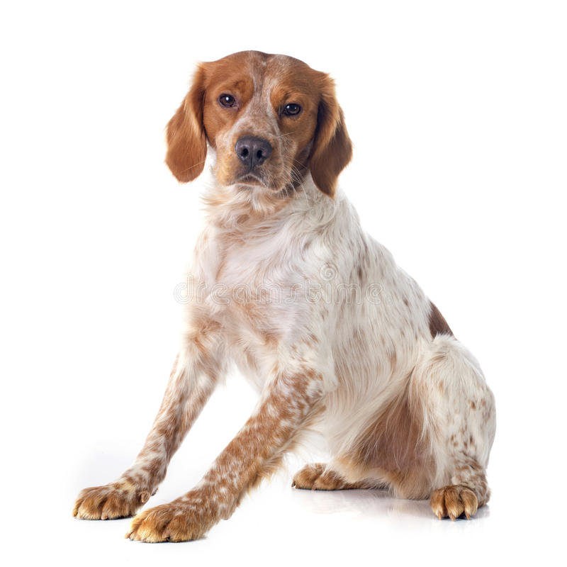Brittany Spaniel photo stock