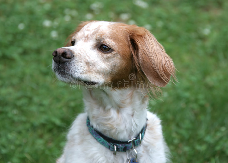 Brittany Spaniel stock photos