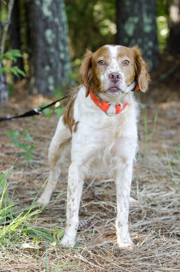 Brittany Spaniel hunting dog with safety orange tracking collar royalty free stock images