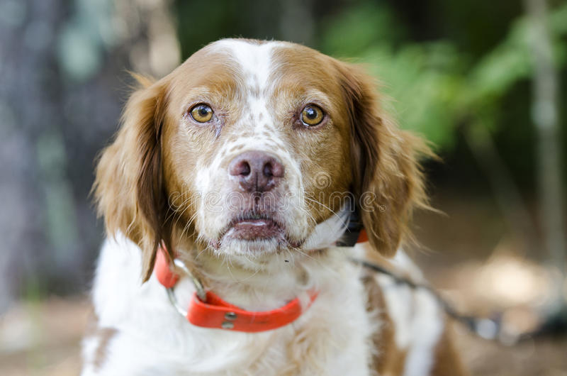 Brittany Spaniel hunting dog with safety orange tracking collar stock photos